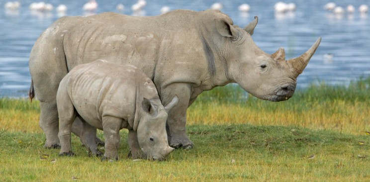 White Rhinoceros (Ceratotherium simum) mother and juvenile, Lake Nakuru, Kenya