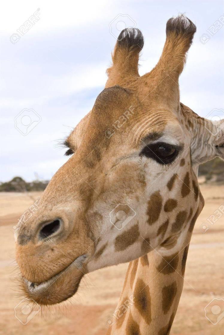 913460-una-jirafa-de-cerca-al-nivel-de-los-ojos-y-mirando-a-la-cámara-